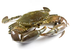 Mud Crab Stock Photo