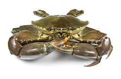 Mud Crab Royalty Free Stock Photography
