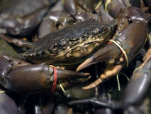 Mud crab Stock Image