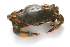 Mud crab female Royalty Free Stock Image
