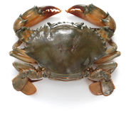 Mud crab female Stock Image