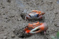 Mud crab. Mai Po Marshland. Hong Kong. Royalty Free Stock Image