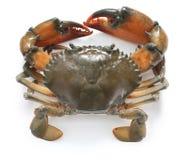 Mud crab male Stock Image