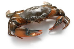 Mud crab male Stock Photo