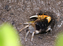 Mud crab in mangroves at entrance to it`s hole. Stock Photography