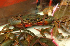 Mud crab Stock Photography