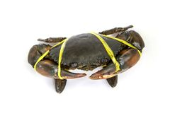 Mud Crab was tied with rope. Live Mud Crab Scylla serrata male large claws was tied with straw rope from market Thailand. Raw material main ingredients in the Stock Image