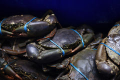 Mud crabs Royalty Free Stock Photography