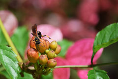 Mud Dauber Wasp. A Mud Dauber, or Dirt Dauber, Wasp Royalty Free Stock Photos