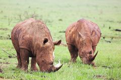 Mud encrusted rhinoceros eatin royalty free stock image
