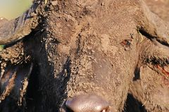 Mud Facial. This buffalo has covered himself in mud to help and repel parasites. Its amazing just how muddy they can make themselves Stock Image