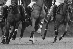 Mud flying. Polo ponies close up. Afternoon polo game. Crowding for ball. Mud flying showing competitiveness of the game royalty free stock photo