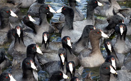 Mud Hens. Flock Of Coot Ducks Together In Tight Group Stock Photos