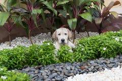 Mud labrador puppy Royalty Free Stock Image