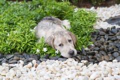 Mud labrador puppy Stock Photos