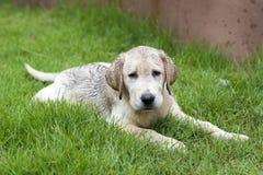 Mud labrador puppy Stock Photo