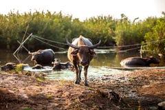 Mud Ox Stock Photo