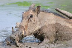 Mud Party - Warthog Royalty Free Stock Photo