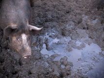 Mud pig Royalty Free Stock Photography
