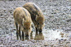 Mud puddle pigs Stock Photography