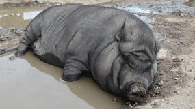 Mud puddle and pot-bellied pig Stock Images