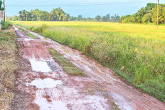 Mud road. Beside golden rice farm stock image
