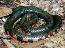 Mud Snake (farancia abacura) Illinois Stock Image