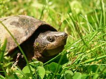 Mud Turtle in the Grass Royalty Free Stock Photography