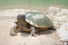 Mud turtle Royalty Free Stock Images