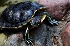 The mud turtle Royalty Free Stock Photo