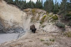 Mud Volcano and Bison at Yellowstone National Park. Bison at Mud Volcano in Yellowstone National Park in Wyoming Stock Photography