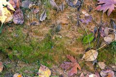 Mud wall in fall. Mud face framed with grass roots and fall leaves Royalty Free Stock Image