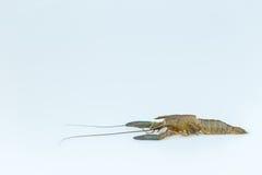 Muda de los pescados de Cray Fotos de archivo libres de regalías