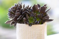 Muda Suculenta Echeveria Black Prince, Negra, succulents cactus plant. stock photos
