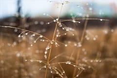 Mudança do conceito das estações: gotas na grama amarela desvanecida, juncos da névoa no final da manhã do outono Imagem de Stock Royalty Free