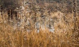 Mudança do conceito das estações: gotas na grama amarela desvanecida, juncos da névoa no final da manhã do outono Fotos de Stock Royalty Free