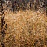 Mudança do conceito das estações: gotas na grama amarela desvanecida, juncos da névoa no final da manhã do outono Foto de Stock