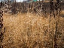 Mudança do conceito das estações: gotas na grama amarela desvanecida, juncos da névoa no final da manhã do outono Fotos de Stock