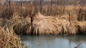 Mudança do conceito das estações: grama amarela, juncos pelo rio gelado congelado ou lago no outono atrasado ou no inverno adiant Fotografia de Stock Royalty Free