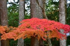 Mudança Japão da cor vermelha do outono fotografia de stock