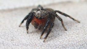 Mudanza de salto de la araña de la cara roja poco almacen de video