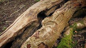 Mudanza a lo largo de vieja superficie escarpada del árbol almacen de metraje de vídeo