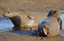 Seals have Mudbath Royalty Free Stock Images