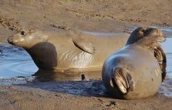 Seals have Mudbath Royalty Free Stock Images