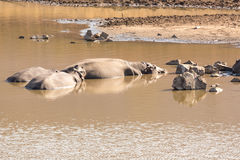 Mudding hippos Royalty Free Stock Photo
