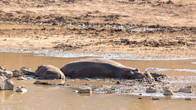 Mudding hippos Royalty Free Stock Image