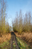 Muddy access path to a forest of pollard willows Royalty Free Stock Photo