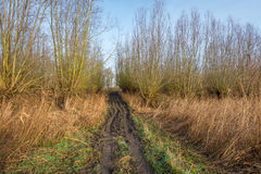 Muddy access path to a forest of pollard willows Royalty Free Stock Photos