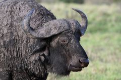Muddy African Buffalo Stock Images