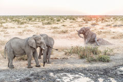 Muddy African Elephant scratching its buttock at sunset. A muddy African Elephant, Loxodonta africana, scratching its buttock on an anthill at sunset at a royalty free stock images